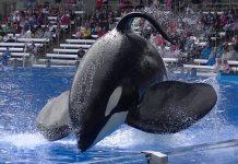 tilikum_blackfish_orca
