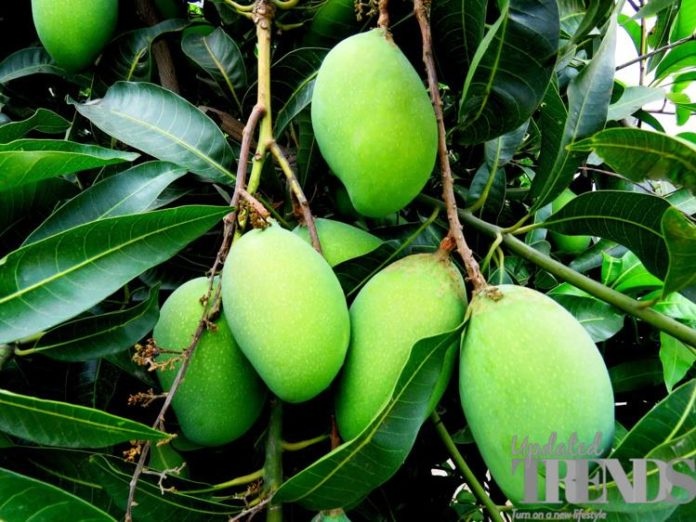 raw mangoes